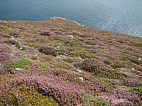 Les falaises vertigineuses du Cap de la Chèvre avec les bruyères colorées