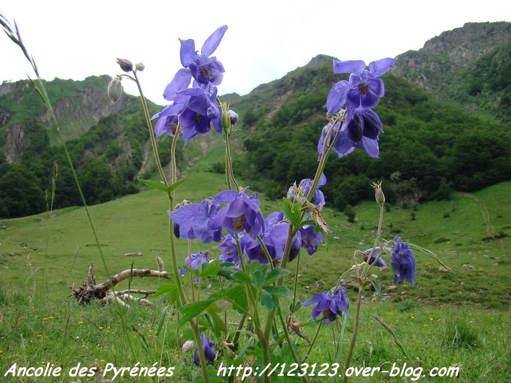 Ancolie des Pyrénées