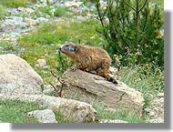 une marmotte dans la réserve d'Orlu (09)
