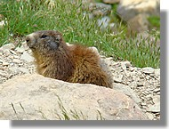 Une marmotte (09)