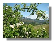 Eglantiers en Cerdagne. Juin 2007 - Pyrénées Orientales.