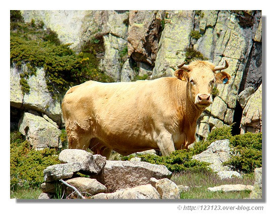Vache en pleine nature dans le Carlit (66) en juin 2007. - &cophttp://123123.over-blog.com