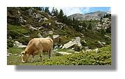 Une vache près des étangs du Carlit. Juin 2007 - Pyrénées Orientales.