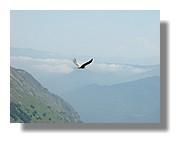 Un vautour fauve en plein vol près des étangs de Bassiès. Juin 2007 - Ariège.