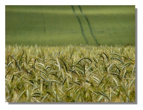 Champ de blé dans la campagne bretonne. Photo prise le samedi 13 juin 2009. - © http://borddemer.over-blog.fr