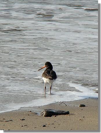 Les pieds dans l'eau pour cet oiseau dont je ne connais pas le nom. Merci à vous tous pour le nom. Il s'agit donc d'un huîtrier-pie. Photo prise le 10 décembre 2009. - © http://borddemer.over-blog.fr