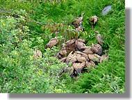 Vautours fauve en plein déjeuner en juin 2008, Pyrénées Atlantiques.