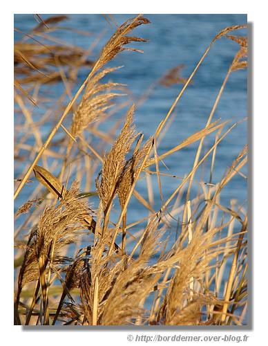 Roseaux au bord d'un étang. Trégunc, le 16 décembre 2008. - © http://borddemer.over-blog.fr