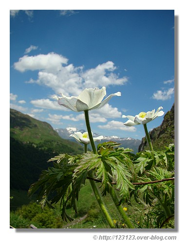 Au bord d'un sentier près du Somport (Vallée d'Aspe - juin 2008) - © http://123123.over-blog.com