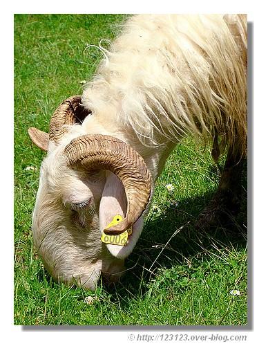 Un bélier dans la vallée d'Aspe (64) en juin 2008. Il s'agit d'un mammifère ruminant à corne dont le mâle est un bélier, la femelle une brebis et les petits, des agneaux. - © http://123123.over-blog.com