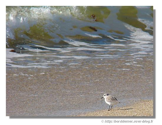 Un limicole qui attend la vague sur une plage de Trégunc (février2009). - © http://borddemer.over-blog.fr