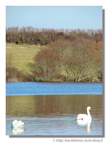 Deux cygnes sur l'étang de Loc'h Lougar (Trégunc), le 12 février 2009. - © http://borddemer.over-blog.fr