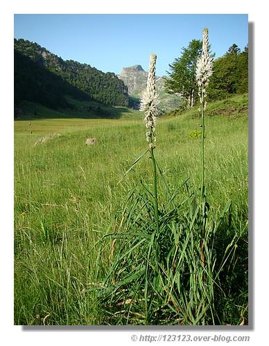 Asphodèles lors de la randonnée aux lacs d'Ayous (Pyrénées Atlantiques) - Juin 2008. © http://123123.over-blog.com