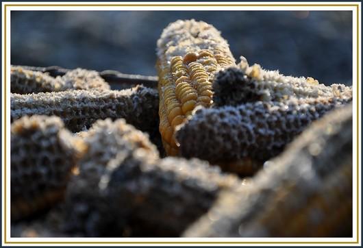 Gros plan sur des grains de maïs gelés. Il n'en reste plus beaucoup! Photo prise le 25 décembre 2010.