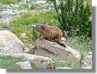 Une marmotte dans la réserve d'Orlu (Ariège, juin 2007).
