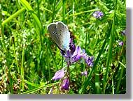 Un petit papillon en plein butinage (juin 2007, Ariège).