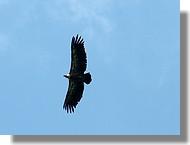 Un vautour fauve au-dessus du col d'Agnès en Ariège (juin 2007).
