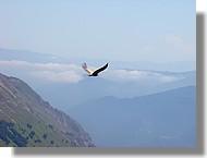 Un vautour fauve au-dessus des Pyrénées (juin 2007, Ariège).