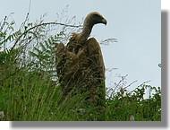 Un vautour fauve (juin 2008, Pyrénées Atlantiques).
