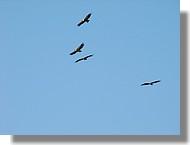 Des vautours fauves en plein vol au-dessus de la Sierra de Guara (Aragon - juin 2008).