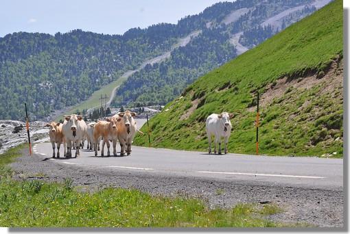 Troupeau de vaches près de la Pierre Saint Martin (Pyrénées Atlantiques). Photo prise le 24 juin 2010.