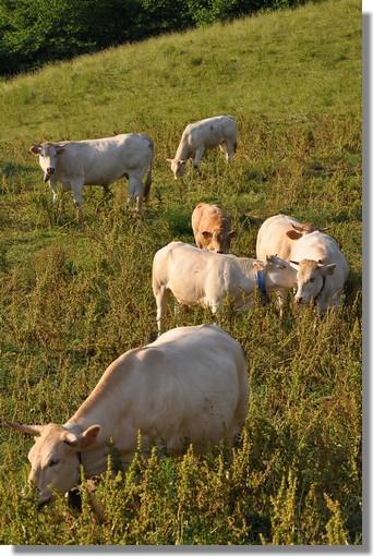 Un troupeau de vaches dans les Pyrénées. Photo prise le 26 juin 2010 dans la vallée d'Aspe.
