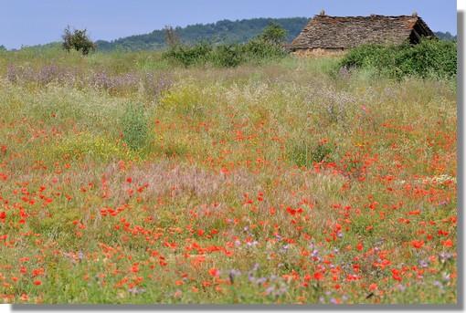Près de Bernuès (Aragon), une bergerie abandonnée au coeur d'un champs de coquelicots. Photo prise en juin 2010.