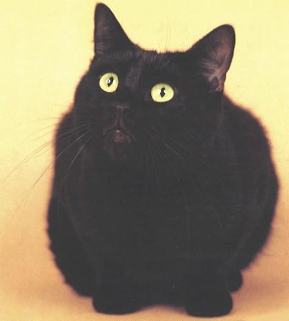 Chat européen noir