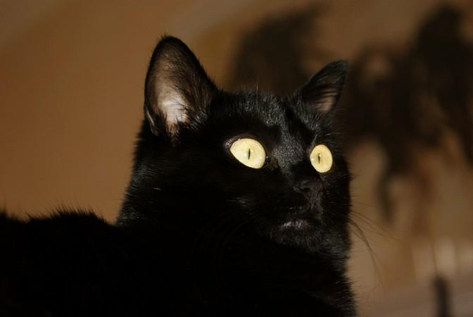 Cachou 180 ème chat noir sur chatsnoirs.com