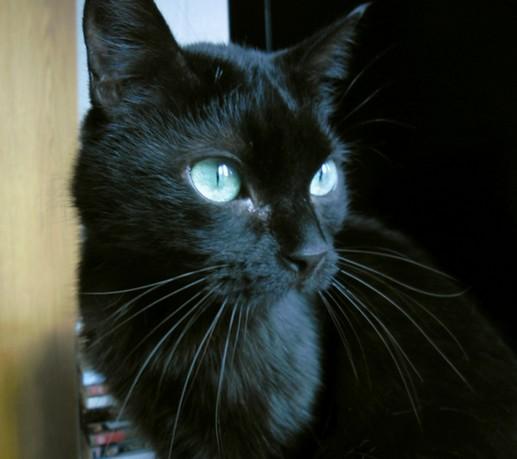 Chiffon 197 ème chat noir sur chatsnoirs.com