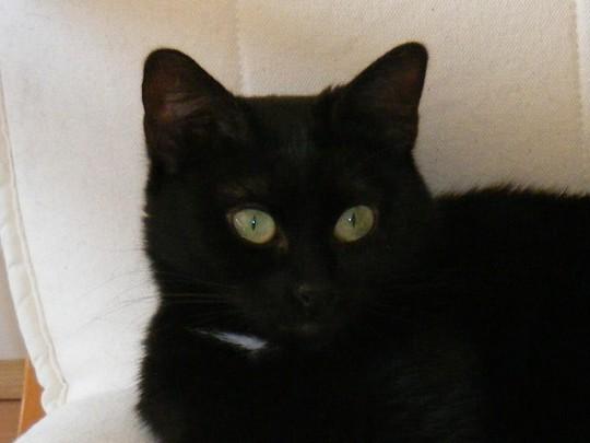 Chigi 176 ème chat noir sur chatsnoirs.com