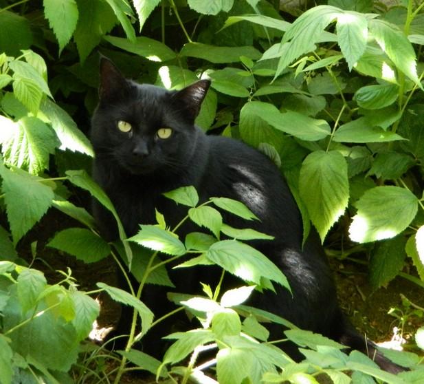 Cooky 196 ème chat noir sur chatnoirs.com