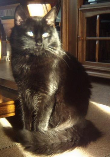 KIWI chat noir Membre de chatsnoirs.com