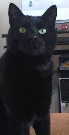 Lestat 154e chat noir sur chatsnoirs.com