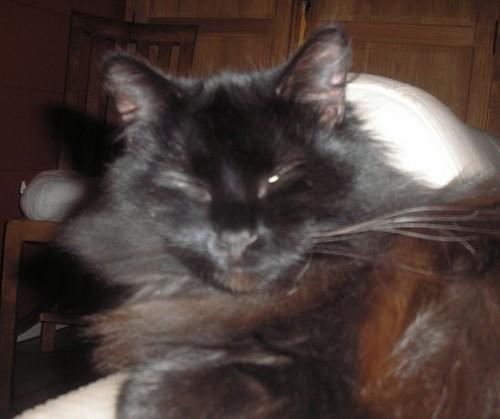 Mephisto, 357e membre du Club Chats Noirs