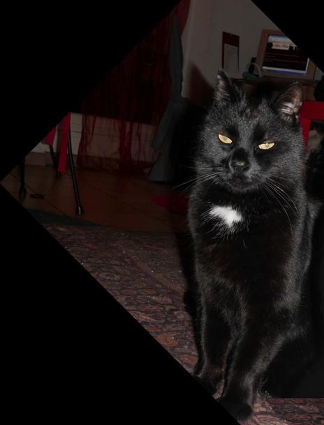MOUSTACHE chat noir 161e membre de chatsnoirs.com