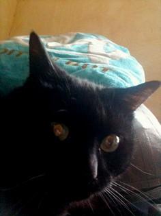Noireaud 165 e chat noir membre de chatsnoirs.com