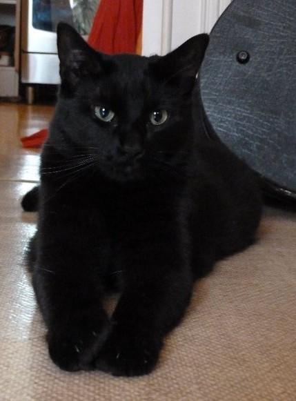 Pépère chat noir sur chatsnoirs.com