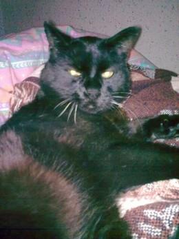 Zorro - chat noir du Cimetière des Chats noirs