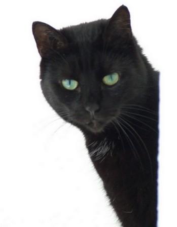 Réglisse 186ème chat noir sur chatsnoirs.com