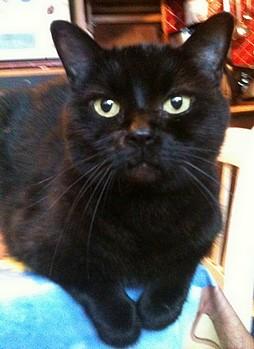 Roger, chat noir sur chatsnoirs.com