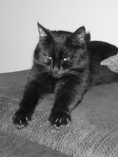 Samara 167e chat noir membre de chatsnoirs.com