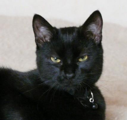 Tourmaline chat noir chez chasnoirs.com