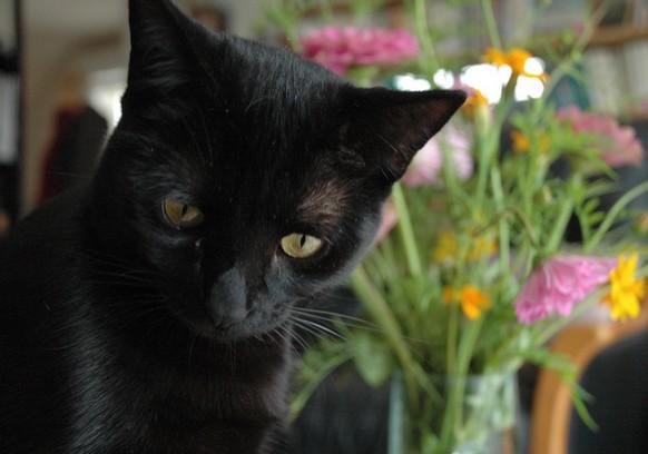 Virgule chat noir membre de chatsnoirs.com