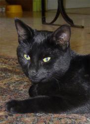 chat noir de BERNARD VERCRUYCE
