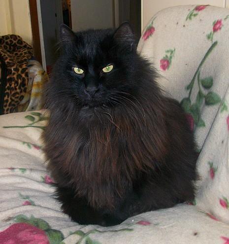 Iléo 198 ème chat noir sur chats noirs.com