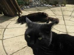 Teddy et Hugh  chats noirs de Simon Tofield