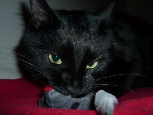Elliot chat  noir membre de chatsnoirs.com