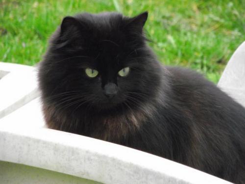 Missy 166e chat noir membre de chatsnoirs.com