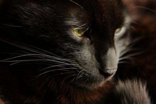 Bambou 172ème chat noir membre de chatsnoirs.com